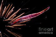 Commensal Shrimp Posters - White Stripe Urchin Shrimp Poster by Danté Fenolio
