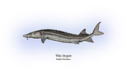 White River Drawings Prints - White Sturgeon Print by Ralph Martens