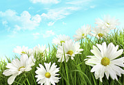 Terrain Posters - White summer daisies in tall grass Poster by Sandra Cunningham
