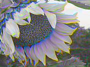 Photomanipulation Acrylic Prints - White Sunflower Acrylic Print by Vicky Brago-Mitchell