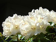 Rhododendron Flowers Framed Prints - White Sunlit Floral art prints Rhododendron Flowers Framed Print by Baslee Troutman Fine Art Photography