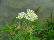 Swamp Milkweed Photos - White swamp milkweed by Matt Berry