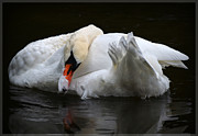White Birds Photos - White Swan by Amanda Vouglas