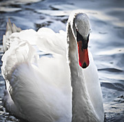 Swans Photos - White swan by Elena Elisseeva