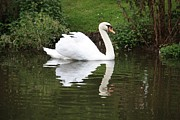 White Swan Photos - White Swan in Belgium Park by Carol Groenen