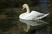 Mute Swan Prints - White Swan on River Print by Carolyn Marshall