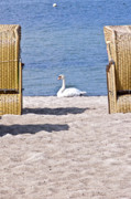 White Wicker Posters - White swan on the beach Poster by Heiko Koehrer-Wagner
