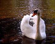 Swans Art - White Swan by Rona Black