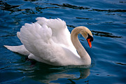 Rating Metal Prints - White Swan Metal Print by Syed Aqueel