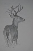 Rack Drawings - White-tail Deer Sketch. by Calvin Carter