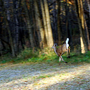 Wild Deer Prints - White Tail Running Deer Print by LeeAnn McLaneGoetz McLaneGoetzStudioLLCcom