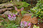 Hiding Metal Prints - White-tailed Deer Fawn Metal Print by Adam Jones and Photo Researchers