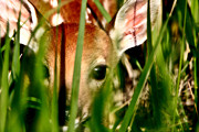 Hiding Metal Prints - White tailed Deer fawn hiding in grass Metal Print by Mark Duffy