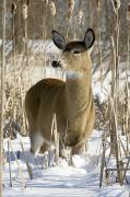 Cornfield Prints - White-tailed Deer In A Snow-covered Print by Philippe Henry