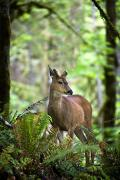 Wild Grass Posters - White-tailed Deer Peering Out Of The Poster by Richard Wear