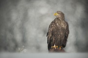 Conditions Photo Framed Prints - White-tailed Eagle Framed Print by Andy Astbury