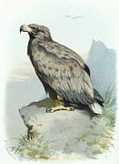 Bird Drawing Posters - White-tailed Eagle, Historical Artwork Poster by Sheila Terry