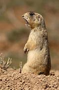Prairie Dog Framed Prints - White-tailed Prairie Dog Giving A Fierce Bark Framed Print by Max Allen