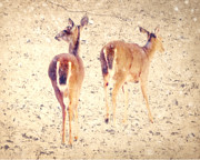 Wild Animals Photo Prints - White Tails in the Snow Print by Amy Tyler