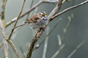 Feeding Birds Posters - White Throated a Sparrow Poster by Laura Mountainspring