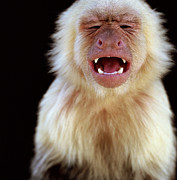 Mouth Closed Prints - White-throated Capuchin (cebus Capucinus) With Mouth Open, Eyes Closed Print by Ryan McVay