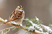 Sparrows Photos - White Throated Sparrow by Alan Lenk