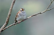 Feeding Birds Posters - White Throated Sparrow Poster by Laura Mountainspring