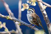 Michaela Sagatova Posters - White-throated Sparrow Poster by Michaela Sagatova