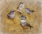 Sparrow Prints - White Throated Sparrow Montage Print by Jai Johnson