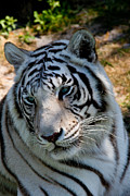 Forida Prints - White Tiger Closeup Print by Darlene Chissom