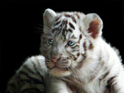 Big Cat Digital Art Acrylic Prints - White Tiger Cub Acrylic Print by Julie L Hoddinott