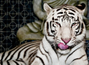 Fur Stripes Prints - White TIger Print by Jim DeLillo