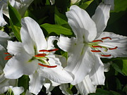Tiger Lillies Photos - White Tiger Lillies by Kathy Long
