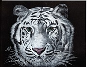 Wildlife Drawings Drawings Prints - White Tiger Print by Linda Ginn
