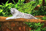 Zoo Tiger Posters - White tiger Poster by MotHaiBaPhoto Prints
