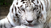 Wild Life Photos - White Tiger by Nancy  Coelho