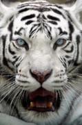 White Tiger Portrait Close Up Print by Andrey Ushakov
