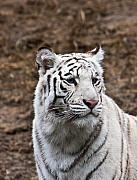 Esteem Prints - White Tiger Portrait Print by Douglas Barnett