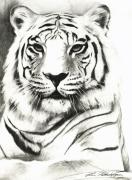 Stripes Drawings Framed Prints - White Tiger Portrait Framed Print by Lin Petershagen