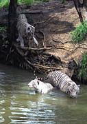 White Tigers In Water Pond Print by Johnson Moya