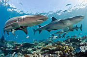 Sharks Photo Posters - White Tip Reef Sharks Poster by Michael P ONeill and Photo Researchers