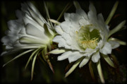 Torch Photos - White Torch Cactus Flowers  by Saija  Lehtonen