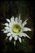 White Cactus Flower Framed Prints - White Torch Cactus  Framed Print by Saija  Lehtonen