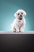 Toy Dog Photo Posters - White Toy Poodle Dog In Studio Poster by Cavan Images