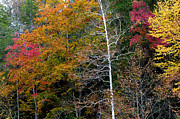 Gatlinburg Tennessee Photo Prints - White Tree Fall Colors  Print by Rich Franco
