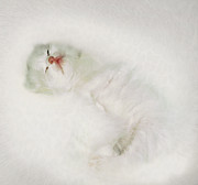 Pets Digital Art Originals - White Trifle by Li   van Saathoff