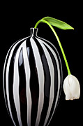 White Flower Photos - White tulip in striped vase by Garry Gay