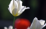 Tulip Bloom Prints - White tulips  blossom Print by Heiko Koehrer-Wagner