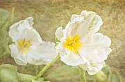 White Tulips Print by Cheryl Davis