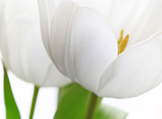 Macro Photography Prints - White Tulips Print by Kristin Kreet